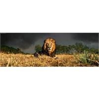 Heye Lion (1000 Parça, Panorama)