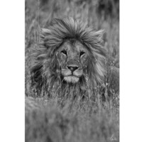 Innova Handsome Lion 40X60 Cm Cam Tablo