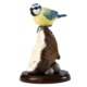 Border Fine Arts Blue Tıt On Coconut Shell Biblo