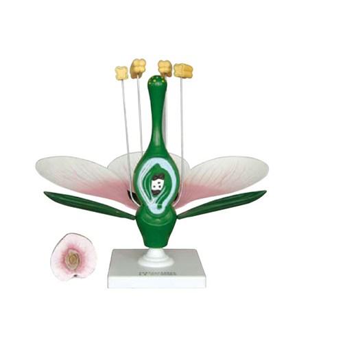 Anatomia Çiçek Kesiti Modeli
