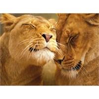 Loving Lions (500 parça)