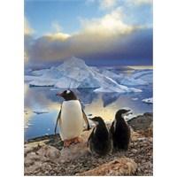 Penguins (500 parça)