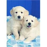 Ravensburger Beyaz Köpekler (500 Parça)