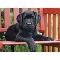The Black Dog (500 Parça)