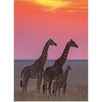 Clementoni Family Of Masai Giraffe At Sunset - 500 Parça Puzzle
