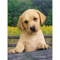 Clementoni Puzzle Cute Puppy (1000 Parça)