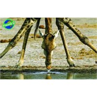 Zürafa (1000 Parça)