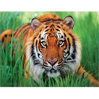 Tiger İn Grass (500 Parça Puzzle)