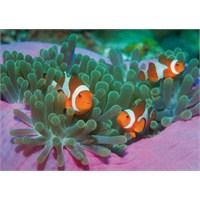 Clown Fish (1000 Parça Puzzle)