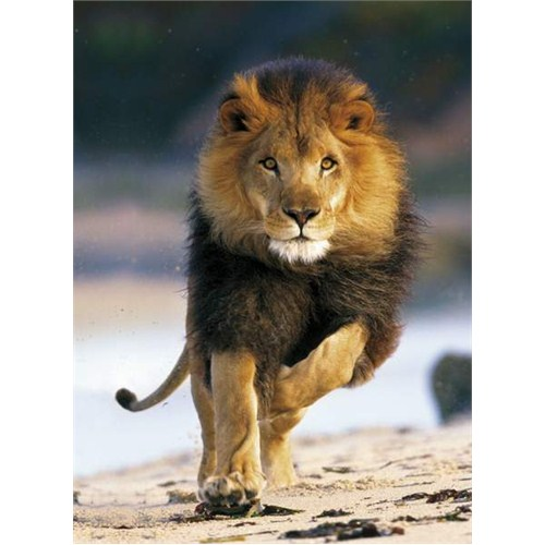 Clementoni Puzzle Running Lion (1000 Parça)