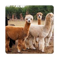 Fotografyabaskı Alpaklar Bardak Altlığı Baskı 4'lü Set