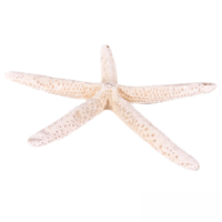 Deniz Yıldızı -Parmak / Büyük Boy