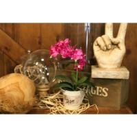 Adams Saksı Çiçek Pembe