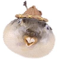 Balon Balık-Büyük