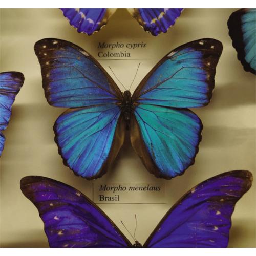 Fotocron Mavi Renk Kelebekler Tablo