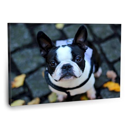 Fotografyabaskı Sevimli Köpek Tablosu 75 Cm X 50 Cm Kanvas Tablo Baskı