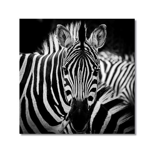 Tictac Zebra 3 Kanvas Tablo - 50X50 Cm