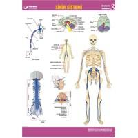 Sinir Sistemi Levhası