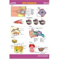 Duyu Organlarımız Levhası