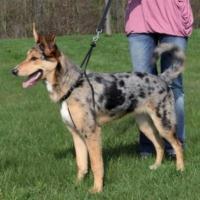Trixie Easy Walk Köpek Kolay Yürüme Eğitim Tasması Xl 55-80 Cm 25 Mm