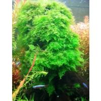 Akvaryum Bitkileri Christmas Moss - 5Cm - 5Cm Yeni Sarım