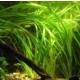 Akvaryum Bitkileri Vallisneria Spiralis Saz Bitkisi 1 Kök Akvaryum Bitkisi