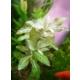 Tohum Diyarı Hygrophila Polysperm Zeytin Bir Bağ Bitki Canlı Bitki