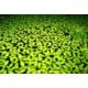 Tohum Diyarı Lemna Minor - Su Mercimeği 200+ Bitki