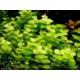 Tohum Diyarı Lysimachia Nummulari 1 Bağ Bitki - Canlı Bitki