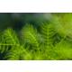 Ceratophyllum Demersum (Tilki Kuyruğu Çam)Ceratophyllum Demersum (Tilki Kuyruğu Çam) 1 Bağakvaryum Bitkisi - 5 Kök